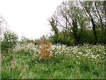 TG3204 : Cow parsley in abundance by Evelyn Simak