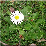 TG3204 : Common daisy (Bellis perennis) by Evelyn Simak