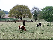 TG3204 : Belted Galloway Cattle by Evelyn Simak