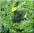 TG3004 : Prickly sow-thistle (Sonchus asper) by Evelyn Simak