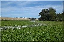 NT5675 : Potato crop by Richard Webb