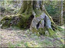NS3174 : Tree rooots in Birkmyre Park, Port Glasgow by Thomas Nugent