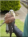 TM1459 : Kestrel at the Suffolk Owl Sanctuary by Oliver Dixon