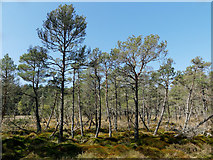 NH5753 : Natural forest cover in the Monadh Mòr bog forest by Julian Paren