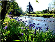 H4772 : Bluebells along the Camowen River by Kenneth  Allen