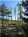 NH8501 : Inshriach Forest by Anne Burgess