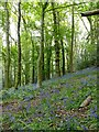 SK3923 : Bluebells in Gorse Covert by Graham Hogg