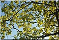 SX8966 : Oak leaves at The Willows by Derek Harper