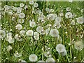 SO5170 : Dandelions (Taraxacum)  by Philip Halling