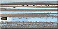 J5767 : Inter-tidal mud, Strangford Lough, Greyabbey (May 2017) by Albert Bridge