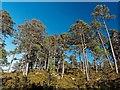 NH2123 : Scots Pine - Glen Affric by valenta