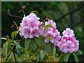 TQ4551 : Rhododendron, Chartwell by Robin Drayton