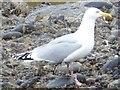 NO8270 : Adult Herring Gull (Larus argentatus) by Stanley Howe