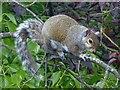 TQ3269 : Grey Squirrel by Robin Drayton