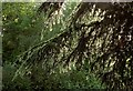 SX8966 : Dripping larch at the Willows by Derek Harper