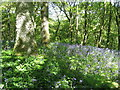 NT3937 : Oak woodland by the River Tweed by M J Richardson