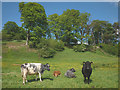 NY8838 : Contented cattle by the Weardale Way by Karl and Ali