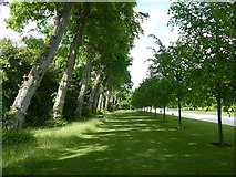 SU9185 : Tree-lined grassy path at Cliveden by Graham Hogg