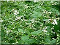 TG3204 : Blackberry (Rubus fruticosus) by Evelyn Simak
