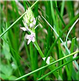 TG3204 : Common Spotted Orchid  (Dactylorhiza fuchsii) by Evelyn Simak