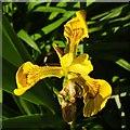 SX9050 : Iris, Coleton Fishacre by Derek Harper
