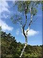 SK2678 : Solitary silver birch tree by Graham Hogg