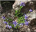 NG4670 : Milkwort (Polygala sp) by Anne Burgess