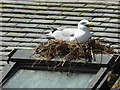 SW5140 : Nesting seagull - St Ives  by Chris Allen