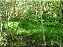 SD9927 : Wet woodland on the bed of Foster Mill Dams, Hebden Bridge by Humphrey Bolton