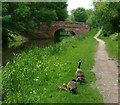 SK5701 : Canada geese on the Grand Union Canal towpath by Mat Fascione