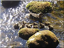 SD9772 : Duck and ducklings in Kettlewell Beck by Oliver Dixon