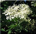 TG3204 : Elder flowers by Evelyn Simak