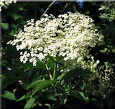 TG3204 : Elder flowers by Evelyn Simak