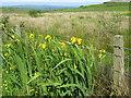 NR6551 : Yellow Flags on Gigha by M J Richardson
