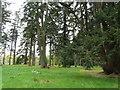 NO3848 : Specimen Pine Trees by derek menzies