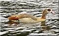 TQ1669 : Egyptian goose in Bushy Park by Steve Daniels