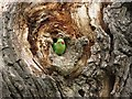 TQ1569 : A ring-necked parakeet in a hollow tree by Steve Daniels