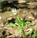 TG3204 : Field pansy (Viola arvensis) by Evelyn Simak