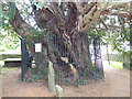 TQ7552 : A yew which is 1,500 years old by Marathon
