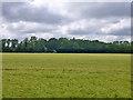 TQ0379 : Field of Barley by Robin Webster