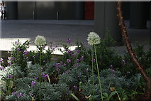 TQ2681 : View of alliums in the Paddington Basin Floating Park by Robert Lamb