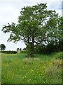 SO3528 : Tree in a buttercup meadow, east of Ruthland Farm by Christine Johnstone