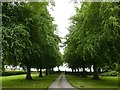 SK4861 : Avenue of lime trees at Teversal Manor by Graham Hogg