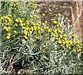 TF7412 : Cotton Lavender  (Santolina chamaecyparissus) by Evelyn Simak