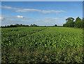 TL4945 : Field by Hinxton High Street by Hugh Venables