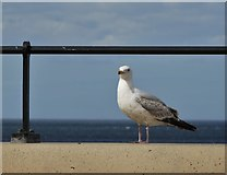 NZ6025 : Redcar seagull on the wall of The Esplanade by Neil Theasby