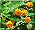 NZ7818 : Orange Ball Tree and a bee in Staithes by Neil Theasby