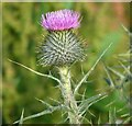 TG3003 : Common thistle (Cirsium vulgare) - flower by Evelyn Simak