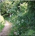 TG2806 : Hemlock (Conium maculatum) by Evelyn Simak