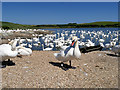SY5783 : Swans on the Fleet at Abbotsbury Swannery by David Dixon